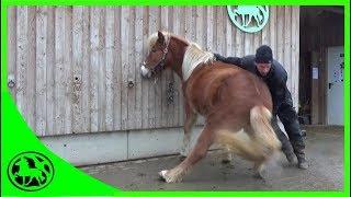 Download Erstes Hochnehmen der Hufe beim Jungpferd. Video
