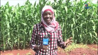 Download Government prepare for third crop harvest in Galana Irrigation project Video