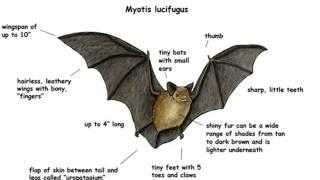 Download Little Brown Bat calls Video