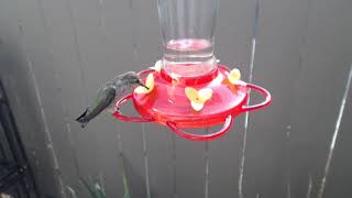 Download Bella Hummingbird Nest Cam 08-09-2018 09:13:24 - 10:13:24 Video