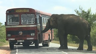 Download The wild elephant waiting for food ! Video