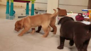 Download Lab Puppies For Sale Mervin King Video