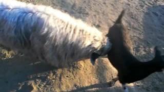 Download Meet Goatsie- the strange and bizarre sheep goat Video