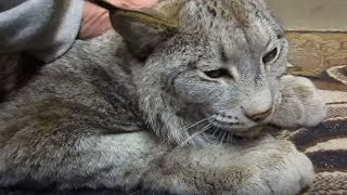 Download Huge Scary Looking Lynx Turns Into A Giant Sweetheart When Anyone Pets Him Video