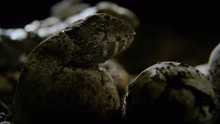 Download Hatching Of Tuatara Cannibals - Wild New Zealand - BBC Earth Video