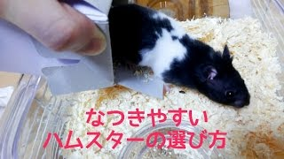 Download なつきやすいハムスターの選び方!実践編!おもしろ可愛いハムスターHow to choose the hamster I tend to entertain Video