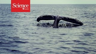Download XX Files : The humpback microbiome : Amy Apprill Video