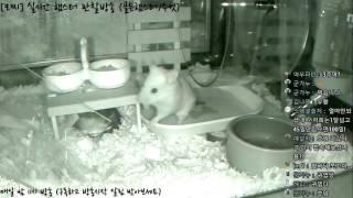 Download [모찌Live/햄스터] 실시간 햄스터 관찰 방송 Hamster Live #16-12-10 Video