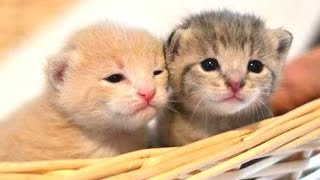 Download Cute Kittens Compilation 2015 [NEW] Video
