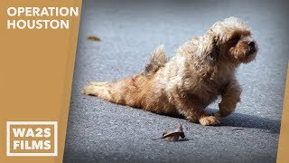 Download Caught On Camera!!! Stray Dog With Crushed Pelvis Gets help - Howl & Hope For DoDo Dogs Video