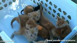 Download Basket of Meowing Kittens Video