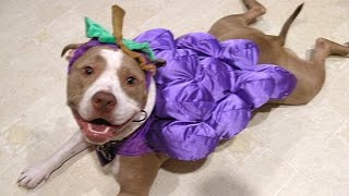 Download Pitbull Dogs And Puppies - A Funny Videos And Cute Videos Compilation || NEW HD Video