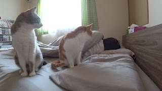 Download 【定点撮影】激しめの目覚まし猫。 Cats get me up. Video
