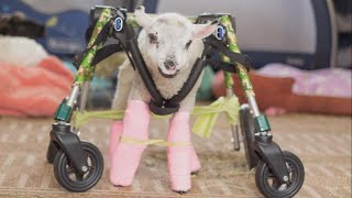 Download Orphaned Lamb Learns to Walk with Help of Special Wheelchair Video