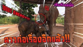 Download ช้างสุดเเสบ ขโมยเเล้วหนี ดาวมันร้าย elephant thailand Video