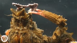 Download Decorator Crabs Make High Fashion at Low Tide | Deep Look Video