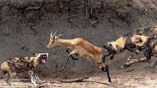 Download African Wild Dogs hunting Goat - Best Aniamls Hunting Video