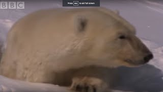 Download Mother Polar Bear and Cubs Emerge From Den   BBC Planet Earth Video