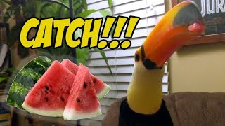 Download Toucan Plays Watermelon Catch!! (Toucan Discovers a Watermelon part 2) Video