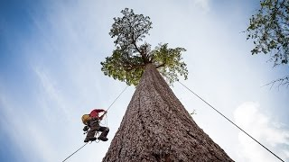 Download Climbing Big Lonely Doug, Canada's 2nd Largest Douglas-fir Tree Video