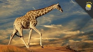 Download 5 Amazing Giraffe Facts - Science on the Web #51 Video