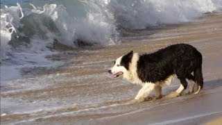 Download Dog Chases Waves Video