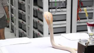Download Venom Extraction: Monocled Cobra Video
