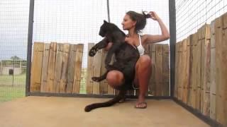 Download Леопард узнал свою спасительницу и прыгнул к ней на руки Video