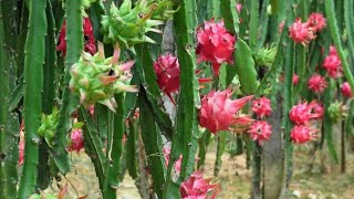 Download nunca plante pitaya sem ver este video antes Video