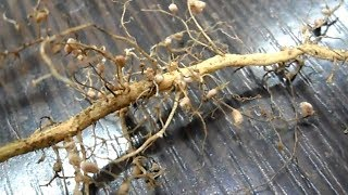 Download This roots can permanently cure uric acid, bone, joint or multiple joints pain in 3 days Video