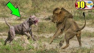 Download 10 อันดับสายพันธุ์สุนัขสายพันธุ์ดุ จนต้องห้ามเลี้ยง!!! Video