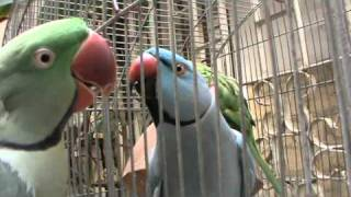 Download This is my talking Parrots,. Video