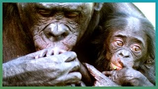 Download WARNING: Bonobo Cannibalism | Earth Unplugged Video