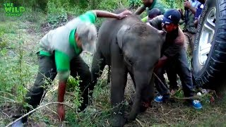 Download The baby elephant was wounded by a jungle trap Video