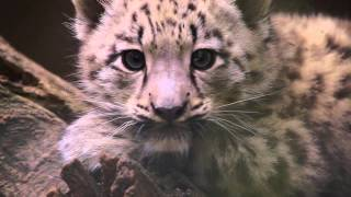 Download Snow Leopard Cub- HD / Schneeleopard Jungtier-HD Video