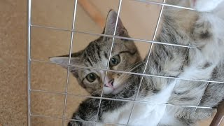 Download 今日は何処で寝ようかな子猫みみ Today's sleeping place kitten Mimi【瀬戸のみみ日記】 Video