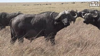 Download Massive Buffalo Herd In The Maasai Mara | African Safari Video