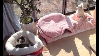 Download 【暖かい部屋にいても冬眠したい猫】Cats want to hibernate even if they are in a warm room Video