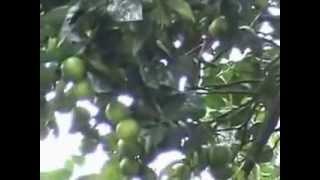 Download BUDIDAYA BUAH JERUK DENGAN PUPUK ORGANIK NASA Video