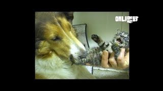 Download 어디서 자꾸 냥줍해와서 자기가 키우는 개ㅋㅋ ㅣDog Keeps Bringing Kittens Home And Raise Them LOL Video