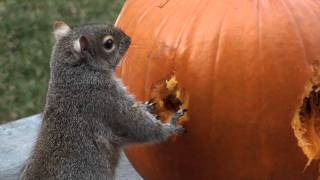 Download Squirrels Carve Face in Pumpkin! Video