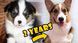 Download CORGI PUPPY Vs ADULT DOG COMPARISON - Life After College: Ep. 474 Video