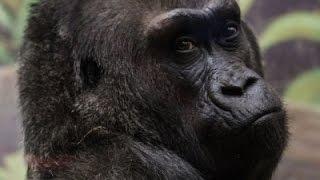 Download Nation's Oldest Known Gorilla Dies at 60 Video