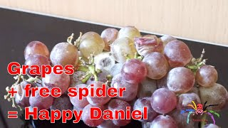 Download TarantulaDan finds a Spider in Supermarket Grapes! Video