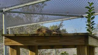 Download Bobcat Rehab and Release Cam 11-20-2017 06:00:01 - 07:00:02 Video