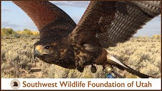 Download Falconry: Out with Belle the Harris Hawk (pt 6) Video