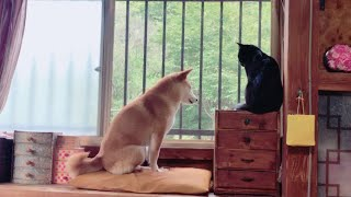 Download 自宅警備とパパの相手で忙しい柴犬と黒猫 Cat and Dog security guard Video