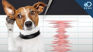 Download Can Animals Predict an Earthquake? Video