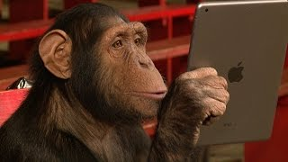 Download Chimpanzees React To iPad Magic Video