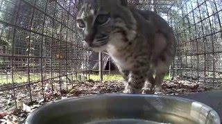 Download Mrs Claws Bobcat Rehab Update 2016 03 07 Video